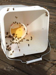 Feeding Ultra Bee powder in early March